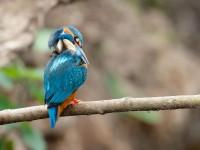 Kingfisher _J4X4756