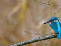 Kingfisher _J4X8492