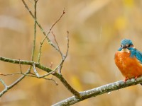 Kingfisher _J4X8561