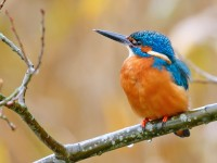 Kingfisher _J4X8620