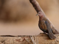 Laughing Dove _J4X2303