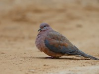 Laughing Dove _J4X2330