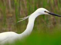 Little Egret _M2A9154