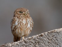 Little Owl _J4X3538