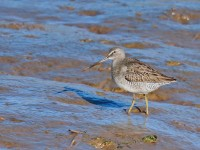 Long-billed Dowitcher _J4X7035