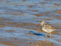 Long-billed Dowitcher _J4X7040
