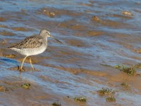 Long-billed Dowitcher _J4X7047