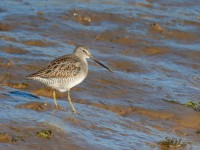 Long-billed Dowitcher _J4X7051
