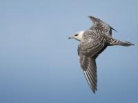 Long-tailed Skua _J4X5749