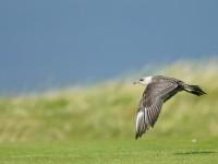 Long-tailed Skua _J4X5797