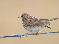 Meadow Pipit _S1Q9210