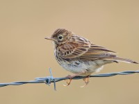 Meadow Pipit _S1Q9213