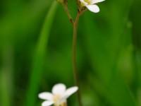 Meadow Saxifrage _M2A9615