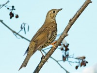 Mistle Thrush _M2A2135 copy