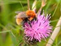 Moss Carder Bumblebee_S1Q9272