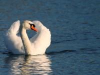 Mute Swan _J4X7863