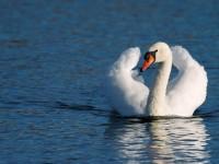 Mute Swan _J4X7866