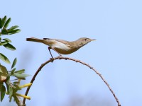 Olivaceous Warbler _M2A5268
