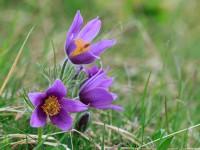 Pasque Flower _M2A6843