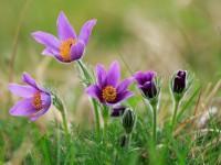 Pasque Flower _M2A6890