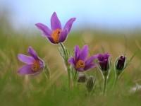 Pasque Flower _M2A6904