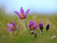 Pasque Flower _M2A6909