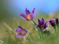 Pasque Flower _M2A6960
