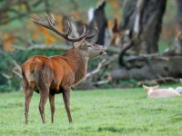 Red Deer _J4X7307