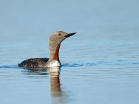 Red-throated Diver _J4X8617