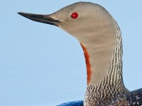 Red-throated Diver _J4X8662