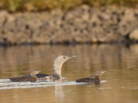 Red-throated Diver_J4X8580