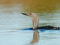 Red=throated Diver _J4X8604