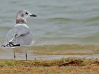 Sabine's Gull _S1Q7786