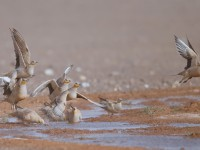 Spotted Sandgrouse _J4X1391