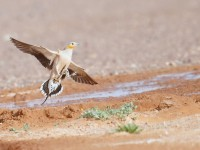 Spotted Sandgrouse _J4X1643