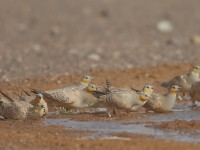 Spotted Sandgrouse_J4X1380