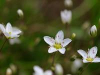 Spring Sandwort _M2A9586