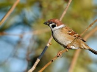 Tree Sparrow _J4X9730