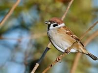 Tree Sparrow _J4X9738