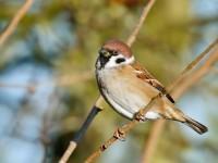 Tree Sparrow _J4X9740
