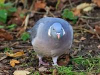 Wood Pigeon _M2A1258