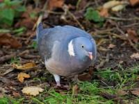 Wood Pigeon _M2A1266