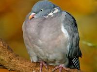 Wood Pigeon _J4X7210