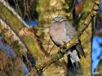 Wood Pigeon _M2A2237