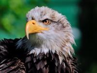 Bald Eagle _M2A6461