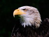 Bald Eagle _M2A6571