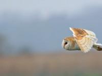 Barn Owl _M2A5655