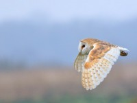 Barn Owl _M2A5657 copy