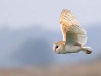 Barn Owl _M2A5658