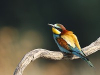 Bee-eater _J4X0092
